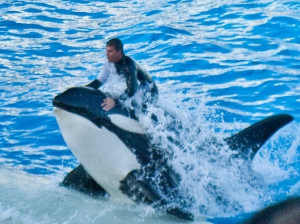 DSC_0067 male trainer riding shamu as he leaps up to the platform en ca